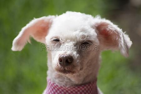 french poodle sleepyhead ii