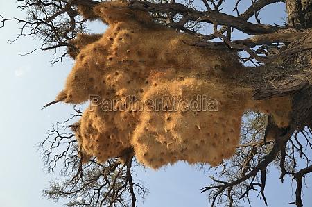 namibia nido de pajaro en