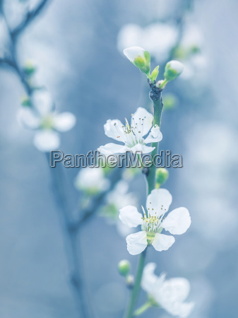 blooming arbol en primavera