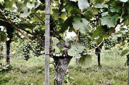 alcohol vendimia rebstock uvas uva