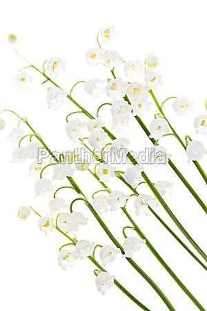flores de lirio de los valles