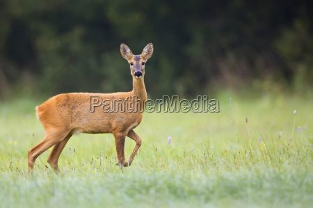 beautiful roe deer in the wild