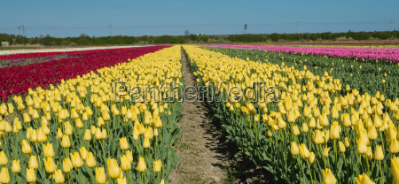 field of red yellow and pink