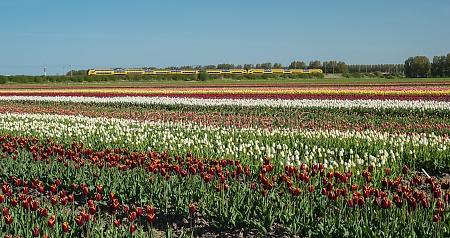 field of multicolored tulips