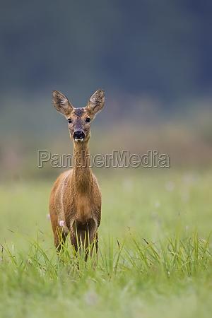 roe deer in the wild in