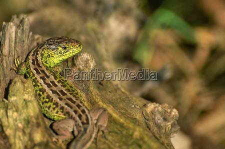 reptil lagarto poiquilotermos adorador del sol