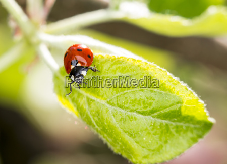 ladybugs on leaf