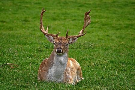 el ciervo fallow