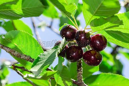 grandes bayas maduras jugosa cereza vinoso