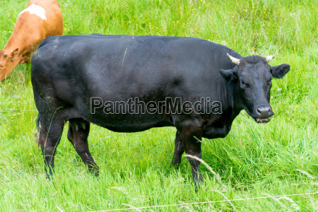 vaca negra en un pasto verde
