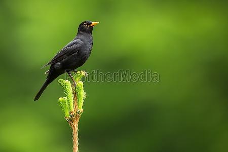 blackbird mirlo comun del varon