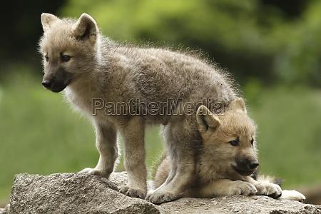 el lobo canis lupus