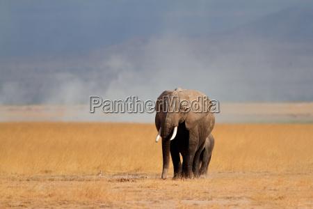 elefante africano con ternera