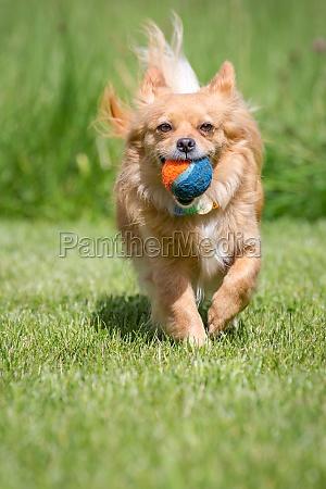 pelota mascotas perro mestizo recuperar