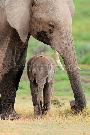 elefante africano con el becerro