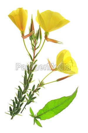 primula comun oenothera biennis
