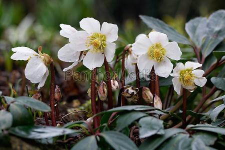 christrose helleborus niger nieswurz la nieve