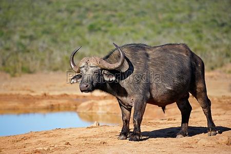 animal mamifero africa fauna bufalo naturaleza