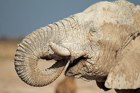 mamifero africa elefante namibia retrato fauna