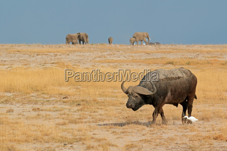 animal africa kenia fauna africano bufalo