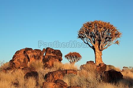 arbol africa namibia aloe paisaje naturaleza