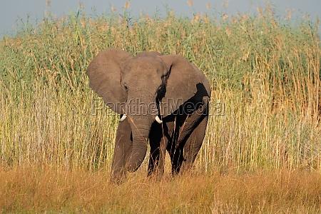 mamifero africa elefante namibia fauna naturaleza