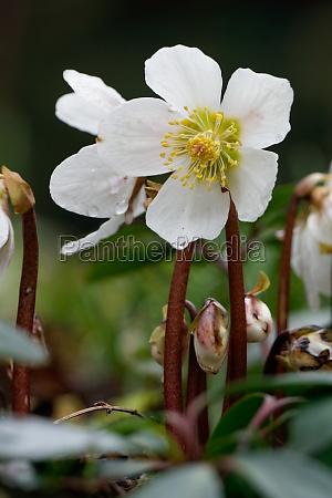 rosa de navidad helleborus niger eleboro
