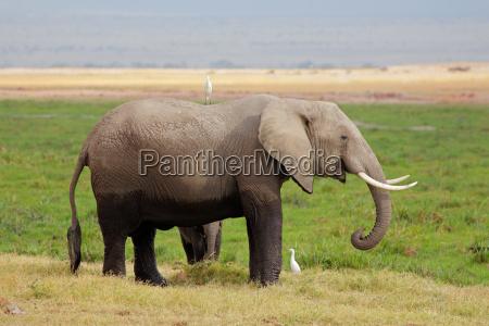 elefante africano con la pantorrilla