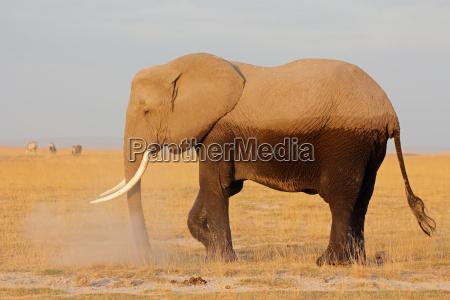 mamifero africa elefante kenia fauna africano