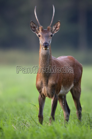 young red deer in a clearing