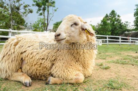ovejas descansando