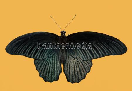 mariposa negro
