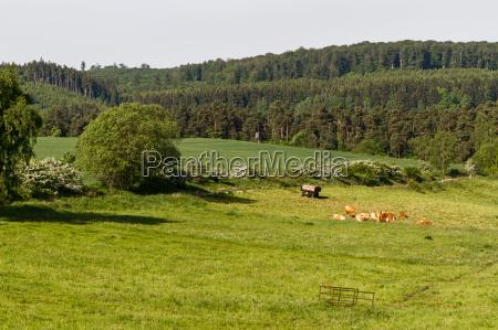 pasto con manada de vacas en