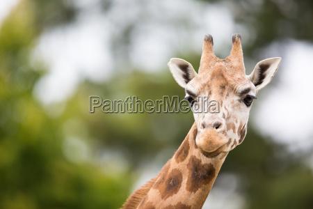 animal mamifero africa jirafa naturaleza