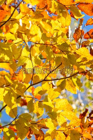 el, árbol, del, otoño, -, primer - 12716676