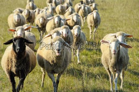 oveja manada rebanyo de ovejas sauce