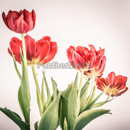 tulipanes rojos en la vendimia