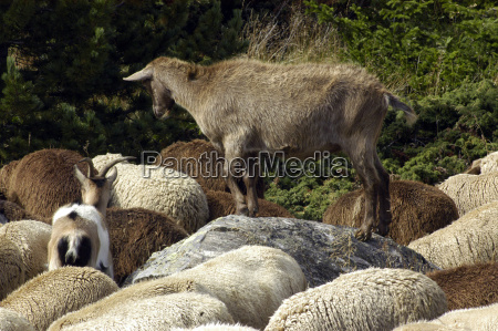 ovejas ovejas animales de granja animales
