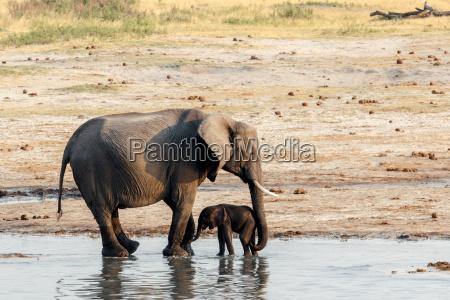 los elefantes africanos con la bebida