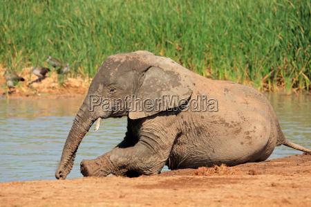 elefante africano jugueton