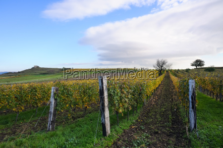 vineyard near felsen in burgenland