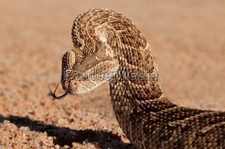 serpiente defensivo