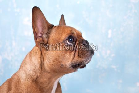 bulldog frances atento