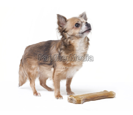 small chihuahua with large bone