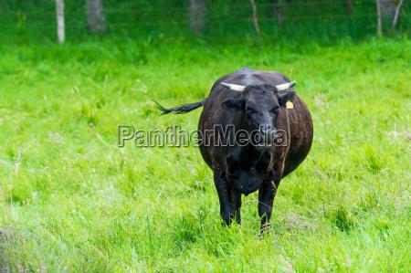 animal vaca granja ganado ternero gestionar