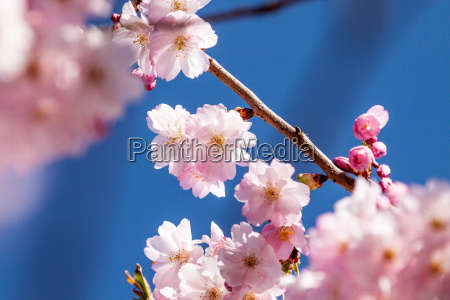 flores de cerezo en la rama