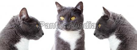 gatos grises aislado sobre fondo blanco