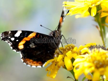 mariposa en la flor amarilla