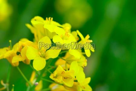 colza brassica rapa flor de la