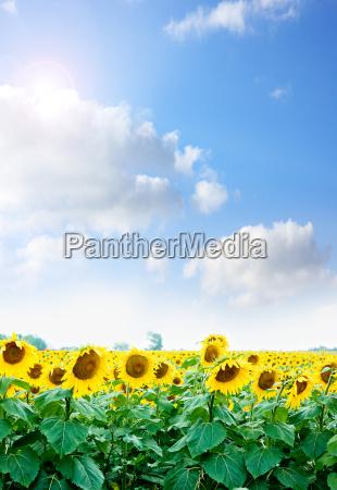 girasoles amarillos